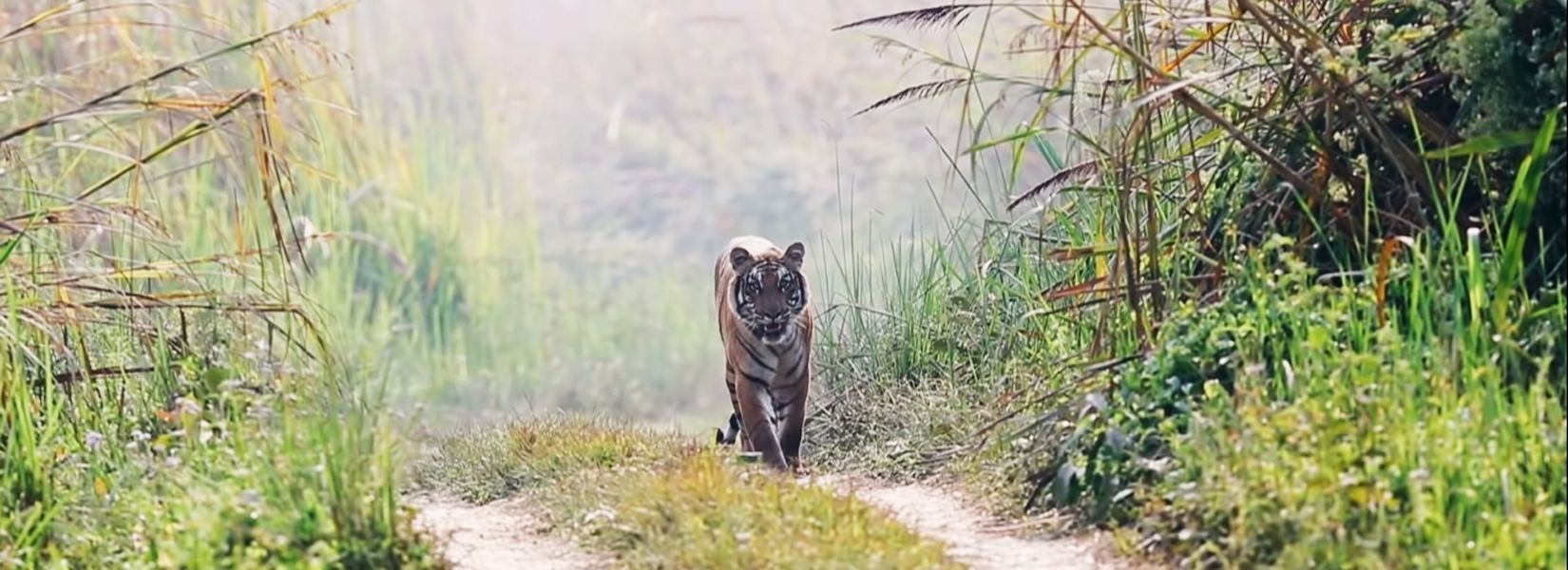 Bardia National Park, Bardia jungle Safari, Royal Bengal Tiger