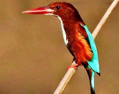Phulchowki bird, Phulhowki bard waching tour